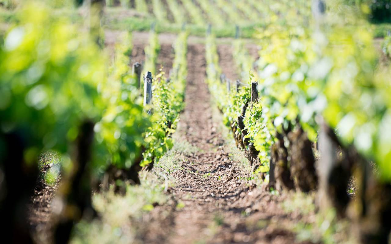 alignement de vignes week end dégustation vin Bourgogne